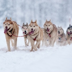 Schlittenhunde in Kanada